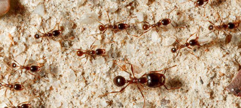 COMMON ANT SPECIES FOUND IN SOUTH CAROLINA HOMES